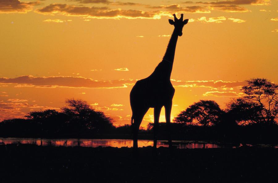 Girafa na África do Sul (Foto: Divulgação)