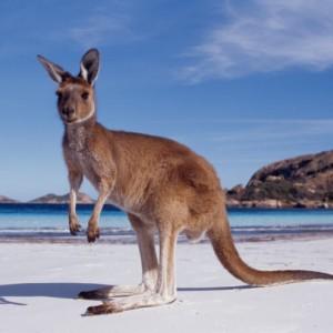 Canguru australiano (Foto: Divulgação)