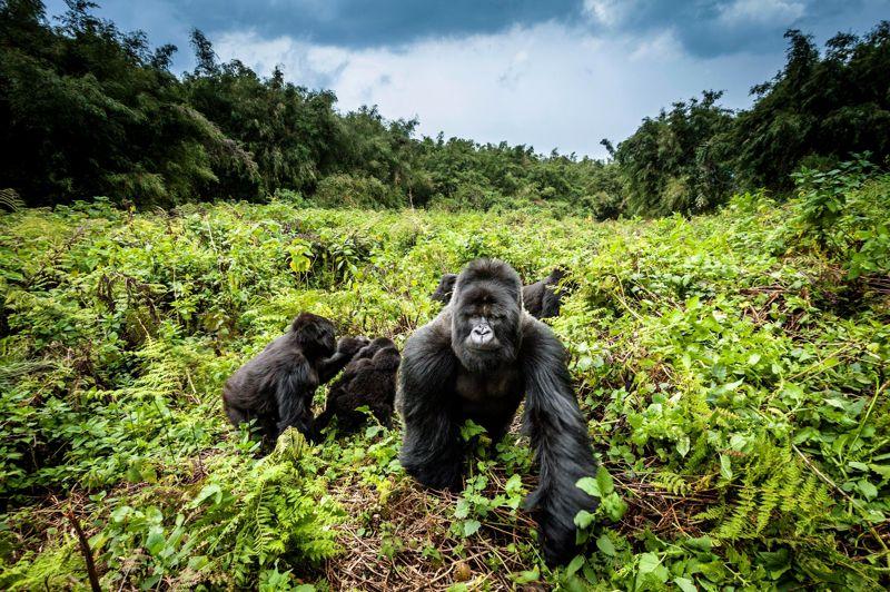 Gorilas nas montanhas, Ruanda (Foto: Divulgação)